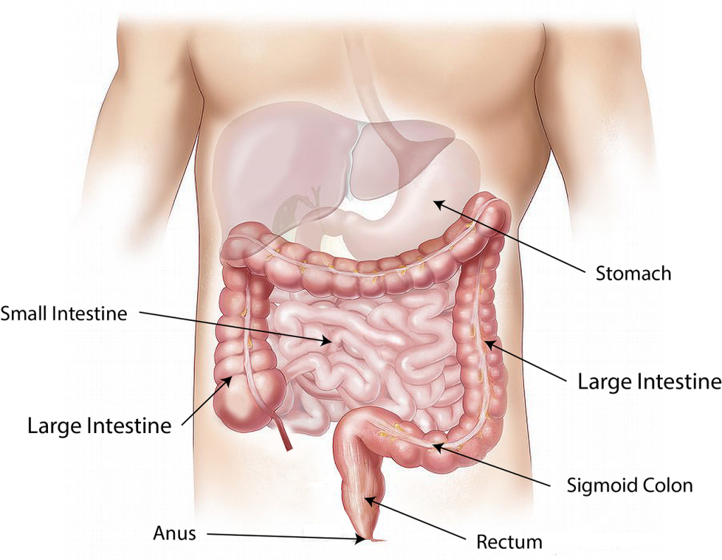 intestines - picture of parts of bowels